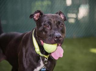 American Pit Bull Terrier Dog For Adoption in West Palm Beach, FL, USA