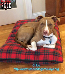 American Pit Bull Terrier Dog For Adoption in New York, NY, USA