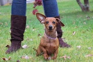Chiweenie Dog For Adoption in Coatesville, PA, USA