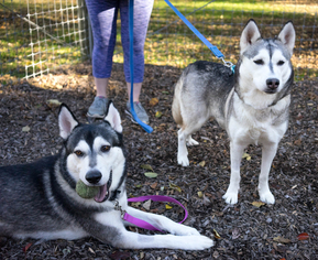 Siberian Husky Dog For Adoption in Birdsboro, PA, USA