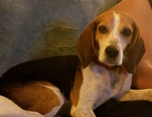Beagle Dog For Adoption in Tampa, FL, USA