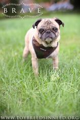 Pug Dog For Adoption in Smithsburg, MD, USA
