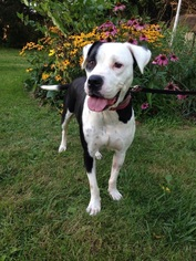 American Pit Bull Terrier Mix Dog For Adoption in Buffalo, NY, USA