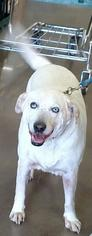 Siberian Husky-Unknown Mix Dogs for adoption in Surprise , AZ, USA