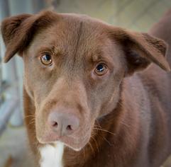 Labrador Retriever Dog For Adoption in Hilton Head, SC, USA