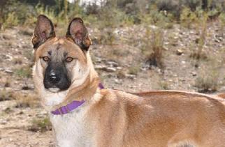 German Shepherd Dog Mix Dog For Adoption in Newport Beach, CA, USA