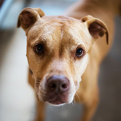 American Pit Bull Terrier Dog For Adoption in Kanab, UT