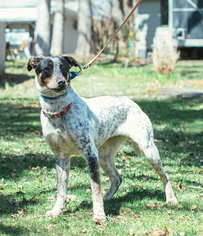 Pointer Dog For Adoption in Calverton, NY