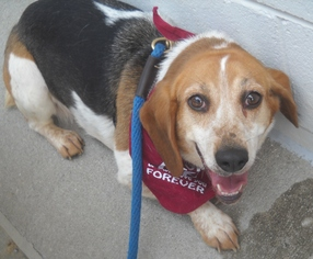 Beagle Mix Dog For Adoption in Ashland, VA, USA