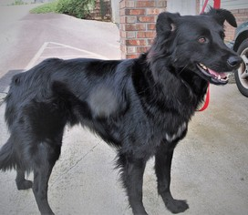 View Ad: Border Collie-German Shepherd Dog Mix Dog for