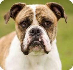 Bulldog Dog For Adoption in Huntley, IL, USA