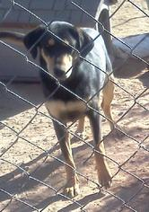 Bloodhound-German Shepherd Dog Mix Dog For Adoption in Tonopah, AZ, USA