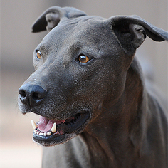 Weimaraner-Whippet Mix Dog For Adoption in Kanab, UT, USA