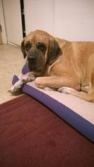 Mastiff Dog For Adoption in McMinnville, OR, USA