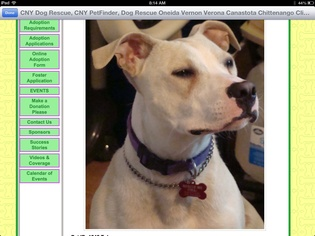 American Pit Bull Terrier Dog For Adoption in North Creek, NY, USA