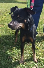Miniature Pinscher Dog For Adoption in Katy, TX