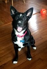 Border Collie Dog For Adoption in Whitehouse Station, NJ, USA