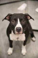 American Pit Bull Terrier Mix Dog For Adoption in Royal Palm Beach, FL, USA