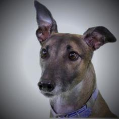 Greyhound Dog For Adoption in Woodinville, WA, USA
