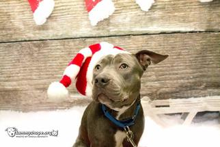 American Staffordshire Terrier Dog For Adoption in Sayreville, NJ, NJ, USA
