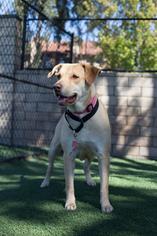 Labrador Retriever Mix Dog For Adoption in San Diego, CA