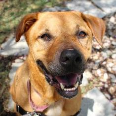 Labrador Retriever Mix Dog For Adoption in Austin, TX