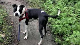 American Pit Bull Terrier Dog For Adoption in Landenberg, PA, USA