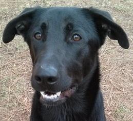 Labrador Retriever Mix Dog For Adoption in Roswell, GA, USA