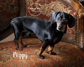 View Ad: Dachshund Dog for Adoption near Kansas, Topeka ...