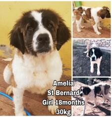 Saint Bernard Dogs for adoption in Seattle, WA, USA