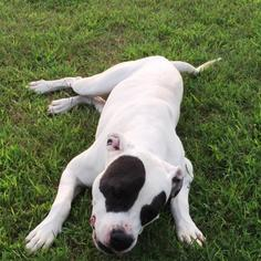American Pit Bull Terrier Dog For Adoption in Monroe, NC, USA