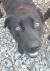 Labrador Retriever Mix Dog For Adoption in Pembroke, GA, USA