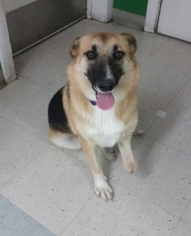 German Shepherd Dog Mix Dog For Adoption in Fresno, CA, USA