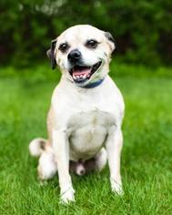 Puggle Dog For Adoption in Shakopee, MN, USA