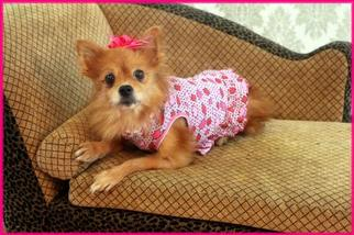 Pomeranian Dog For Adoption in Garland, TX