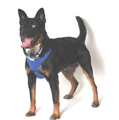 Rottweiler Mix Dog For Adoption in Show Low, AZ