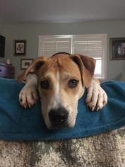 Mountain Cur Mix Dog For Adoption in Baton Rouge, LA, USA