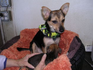 Chihuahua Mix Dog For Adoption in Yucaipa, CA