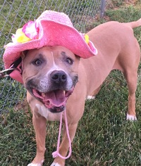 American Pit Bull Terrier Dog For Adoption in Mooresville, IN, USA