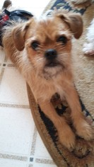 Affen Terrier Dogs for adoption in Princeton, MN, USA