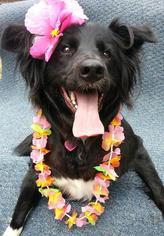 Golden Labrador Dog For Adoption in Fresno, CA, USA