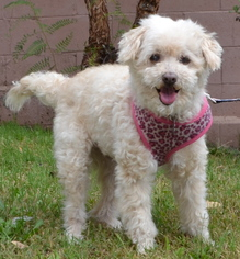 Poodle (Miniature) Dog For Adoption in Simi Valley, CA, USA