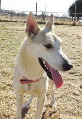 Siberian Husky Mix Dog For Adoption in Edmond, OK