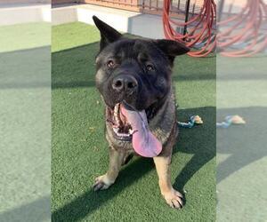 Akita Dogs for adoption in Santa Clarita, CA, USA
