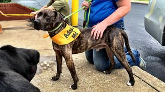 Mountain Cur-Plott Hound Mix Dog For Adoption in Goodlettsville, TN