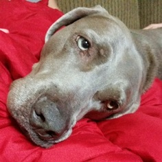 Weimaraner Dog For Adoption in Dallas, TX