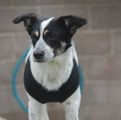 Border Collie Mix Dog For Adoption in Dallas, TX