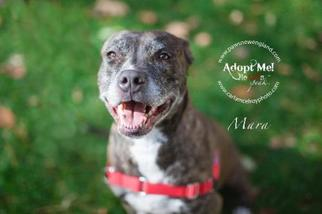 American Pit Bull Terrier-Labrador Retriever Mix Dog For Adoption in Warwick, RI, USA