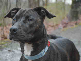 American Pit Bull Terrier Dog For Adoption in Pittsburgh, PA, USA