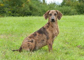 Catahoula Leopard Dog Mix Dog For Adoption in Tuskegee, AL, USA